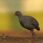 Red-billed Spurfowl