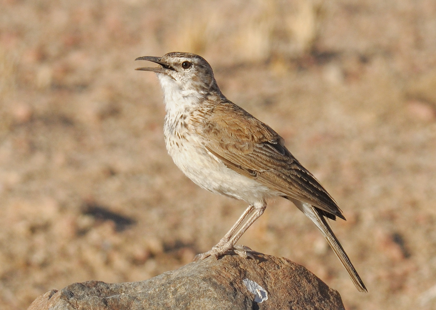 Benguela Long-billed Lark
