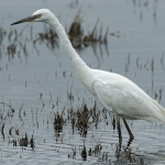Little Egret