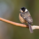 Cinnamon-rumped Seedeater