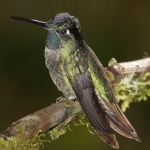 Admirable Hummingbird