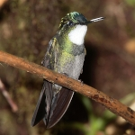 White-throated Mountaingem