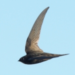 African Black Swift