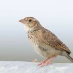 Melodious Lark
