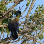Purple-crested Turaco