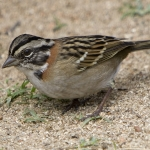New World Sparrows