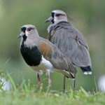 Plovers and Lapwings