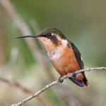 Rufous-shafted Woodstar