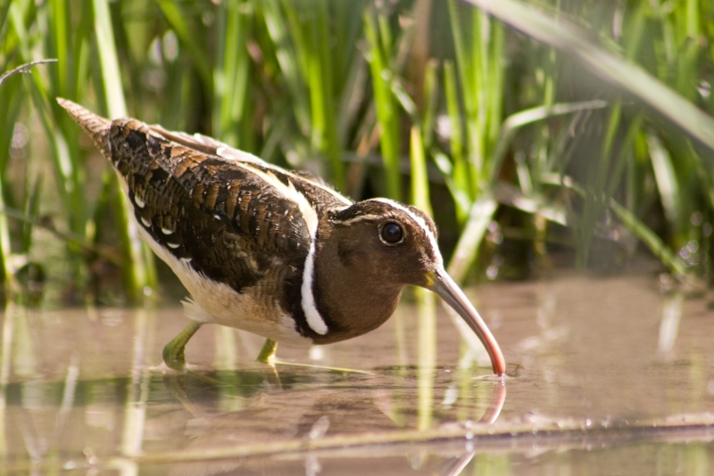 South American Painted-snipe