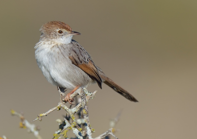 Grey-backed Cisticola