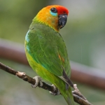 Large Fig Parrot