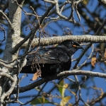 Black Cuckooshrike