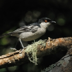 Black-backed Puffback