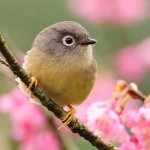 Grey-cheeked Fulvetta