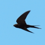 Black Saw-wing