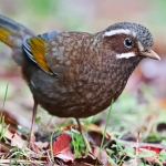 White-whiskered Laughingthrush