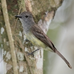 Panamanian Flycatcher