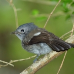 Blue-mantled Crested Flycatcher