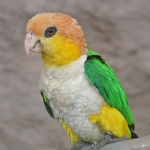 White-bellied Parrot