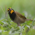 Yellow-faced Grassquit