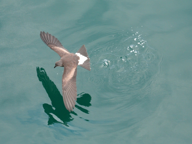 Wedge-rumped Storm Petrel