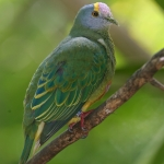 Lilac-crowned Fruit Dove