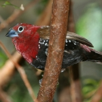 Red-throated Twinspot