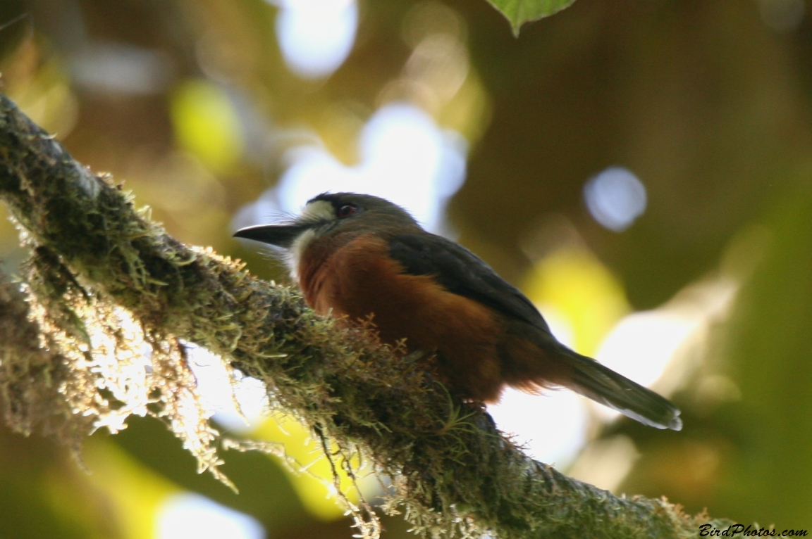 White-faced Nunbird