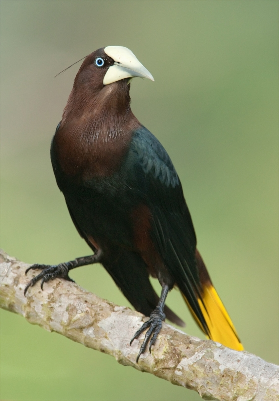 Chestnut-headed Oropendola