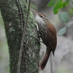 Scalloped Woodcreeper