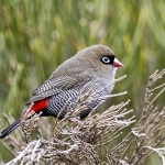 Waxbills, Munias & Allies