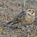 Longspurs, Snow Bunting