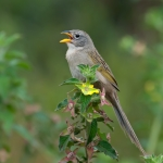 Wedge-tailed Grass Finch