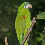 Red-shouldered Macaw