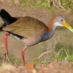 Giant Wood Rail