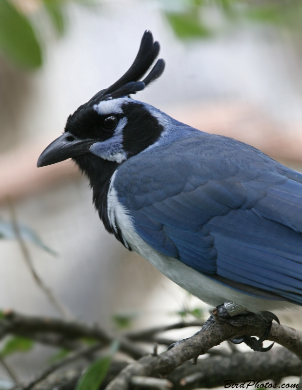 Black-throated Magpie-Jay