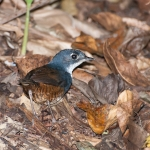White-breasted Tapaculo