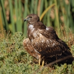 African Marsh Harrier