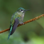 Long-tailed Sylph