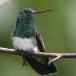 Snowy-bellied Hummingbird