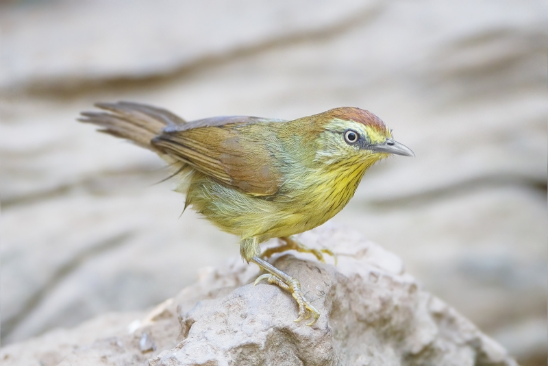 Pin-striped Tit-Babbler