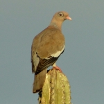 Bare-eyed Pigeon
