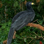 Bare-faced Curassow