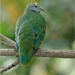 Coroneted Fruit Dove