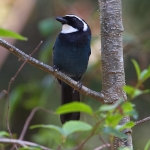 White-throated Jay