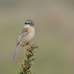 Long-tailed Reed Finch