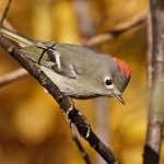 Kinglets, Goldcrests