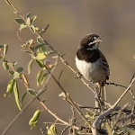 Black-chested Sparrow