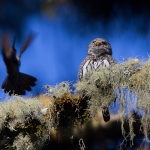 Mountain Pygmy Owl