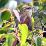 Creamy-crested Spinetail